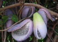 Akebia-imagenes de frutas