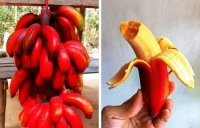 banana roja-imagen