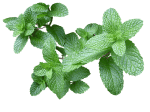 menta-aromaticas