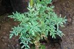 ruda-medicinal
