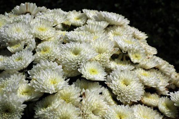 Características de los crisantemos