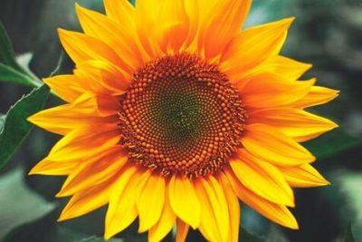 girasol Características de la flor de girasol