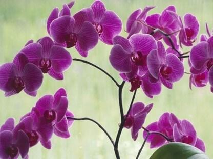 orquideas Características y cuidados de las orquídeas