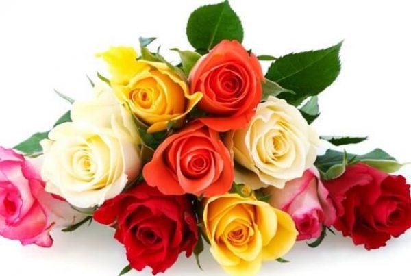 rosas características de la rosa